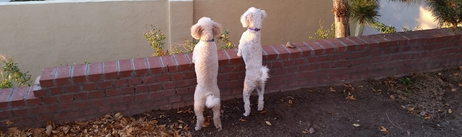 Akc poodle specialty